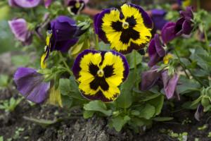 Kwiatki z rabatki (3)