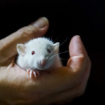 Szczurki I-1