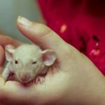 Szczurki I-4