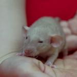 Szczurki I-9