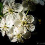 Wiśnie w  kwieciu-10