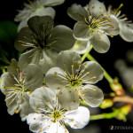 Wiśnie w  kwieciu-11