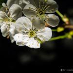 Wiśnie w  kwieciu-12