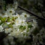 Wiśnie w  kwieciu