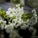 Wiśnie w  kwieciu-2
