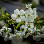 Wiśnie w  kwieciu-3