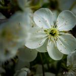 Wiśnie w  kwieciu-4