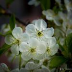Wiśnie w  kwieciu-5