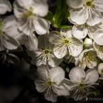 Wiśnie w  kwieciu-6