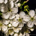Wiśnie w  kwieciu-7