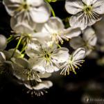 Wiśnie w  kwieciu-8