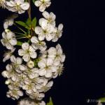 Wiśnie w  kwieciu-9